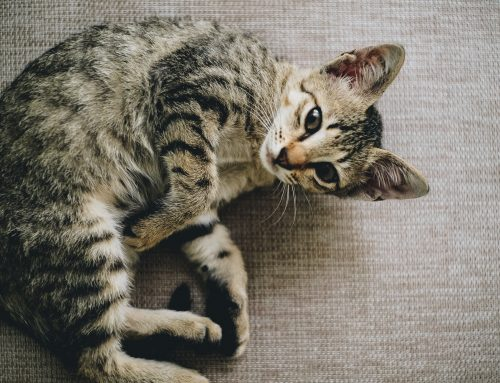 Portare il gatto dal veterinario: cosa bisogna sapere