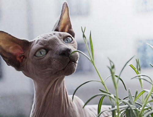 Come capire se il nostro gatto ha l'otite