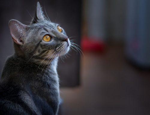 Come proteggere il nostro gatto dalla Leishmaniosi?