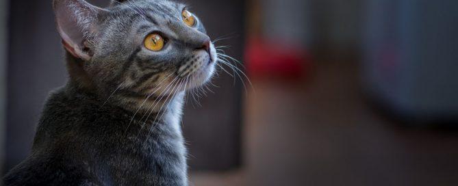 come proteggere il nostro gatto dalla leishmaniosi
