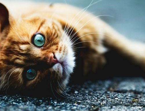 Come far svagare il nostro gatto quando non siamo in casa