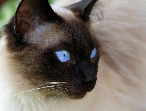 Le razze di gatti più adatte a chi soffre di allergie