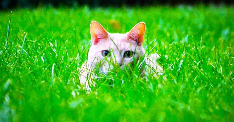 Come difendere il gatto dagli acari delle orecchie