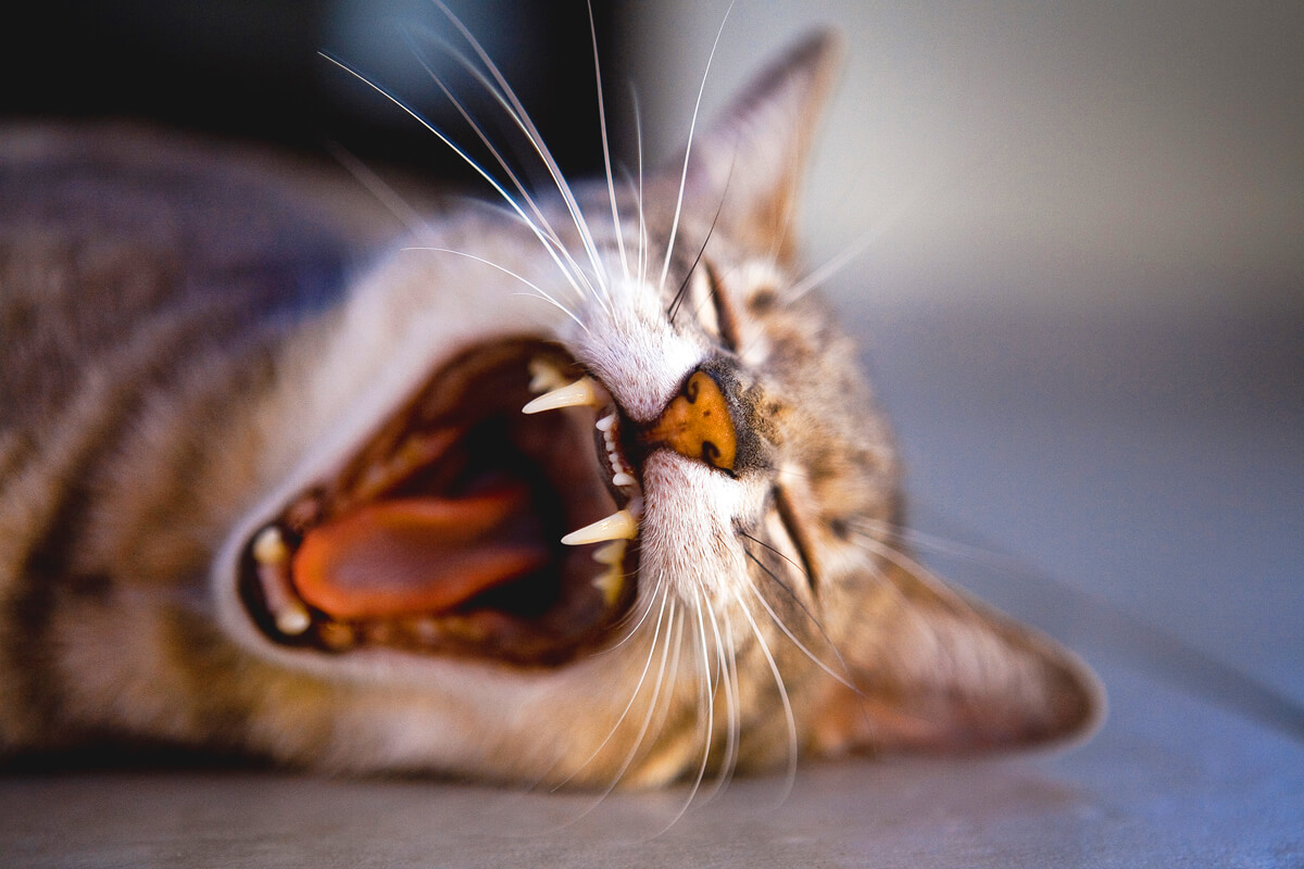 gatto-animale-domestico-o-selvatico
