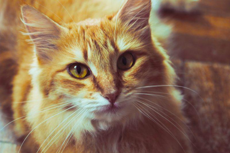 La giusta alimentazione del gatto sterilizzato