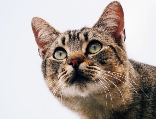 Perché dare del cibo ipoallergenico al nostro gatto?