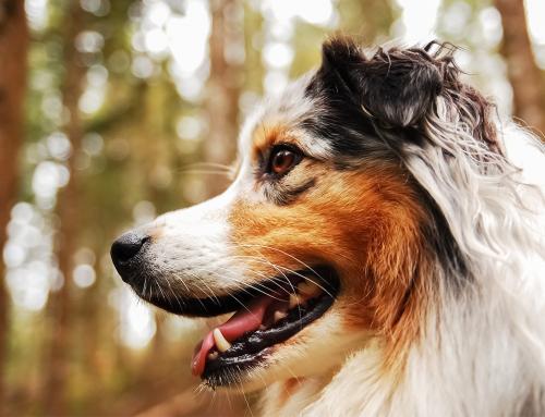 Cibo per il cane diabetico
