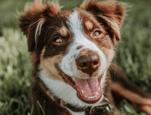 Come prendersi cura dei denti del cane