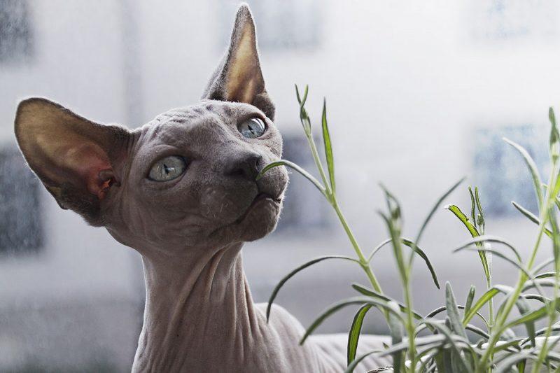 Come capire se il nostro gatto ha l'otite, Come capire se il nostro gatto ha l'otite