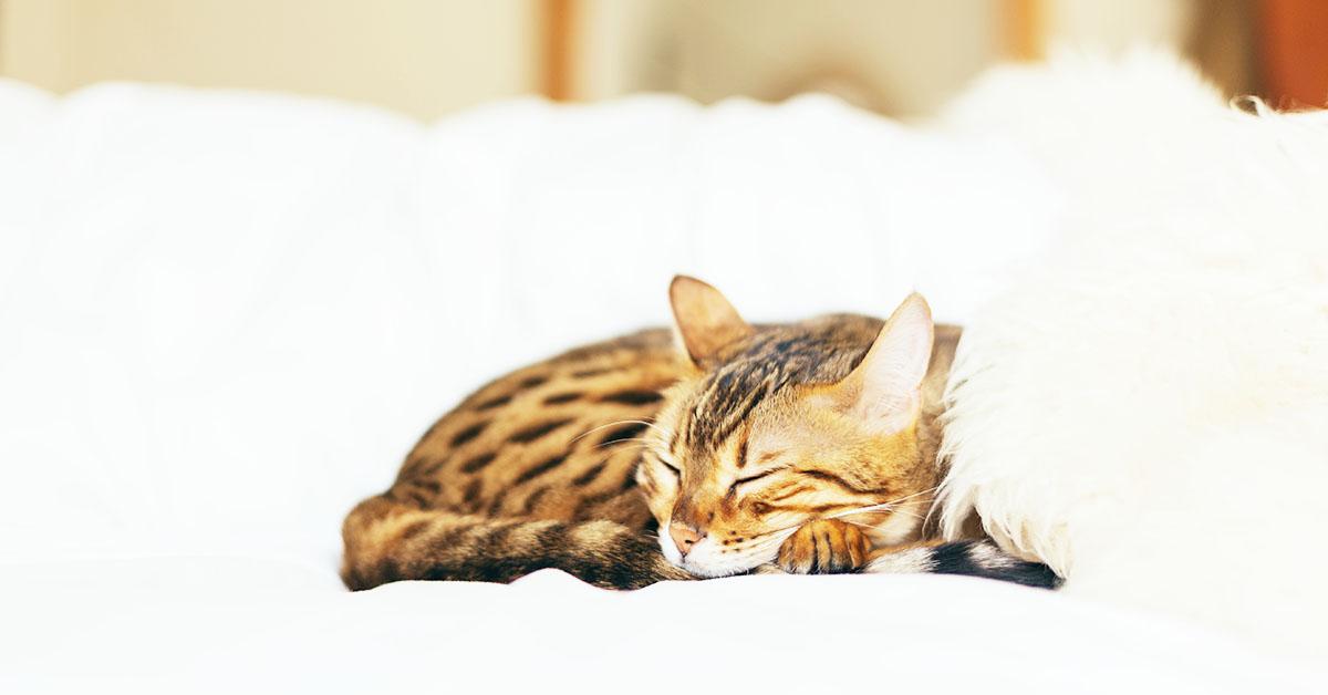 Perché il nostro gatto ama dormire sul nostro letto?