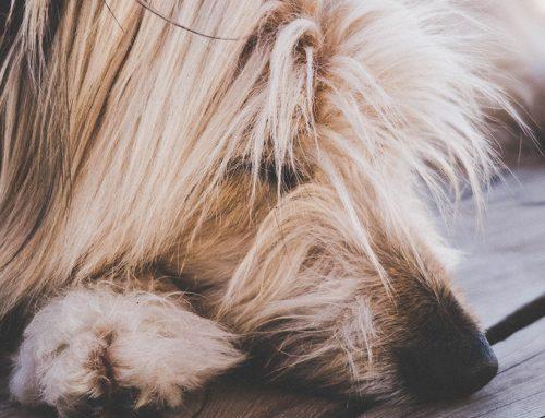 Pelo del cane in autunno: come affrontare la muta