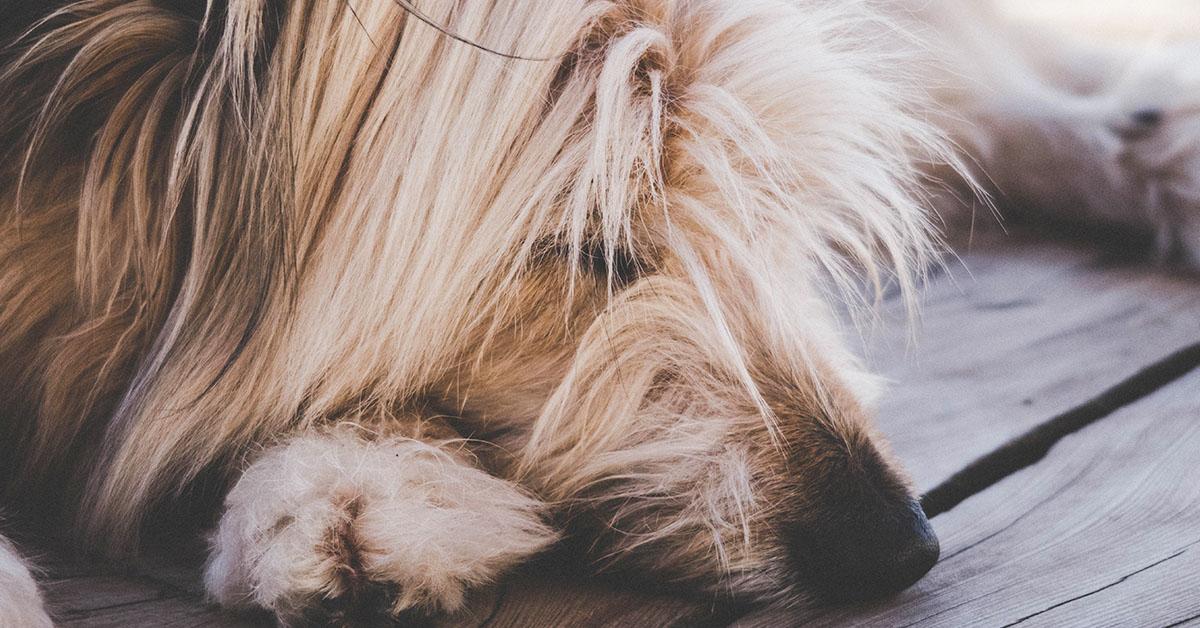 Pelo del cane in autunno- come affrontare la muta