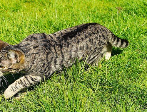 Perché i gatti ci portano le loro prede?