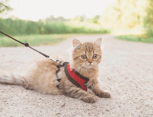 Come abituare il gatto alla pettorina