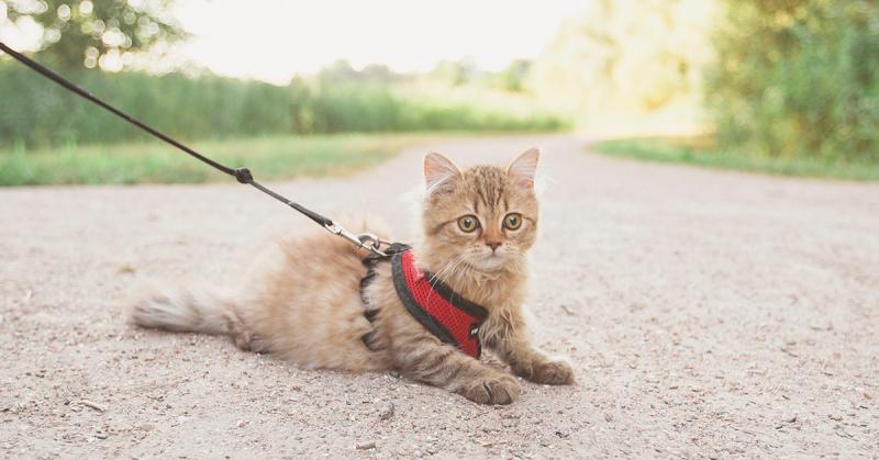 Come abituare il gatto alla pettorina, Come abituare il gatto alla pettorina